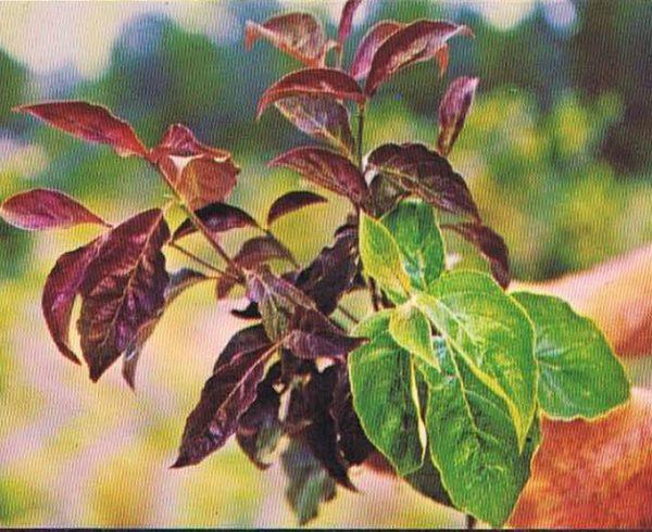 Cornus florida 'Purple Glory'