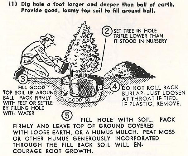 evergreen-planting
