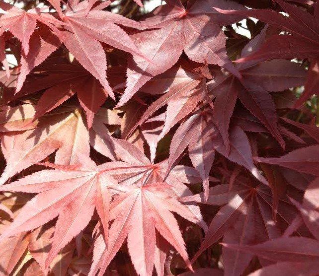 'Bloodgood' Japanese Maple