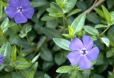 Periwinkle Vinca Minor