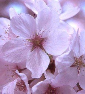 Prunus x yedoensis 'akebono