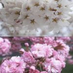 Flowering Cherry Assortment