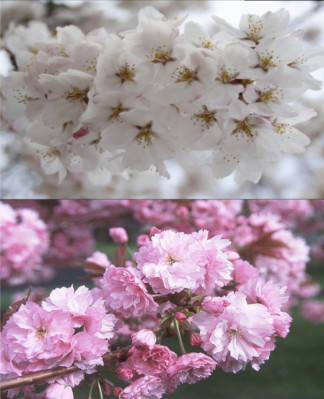 Flowering Cherry Assortment