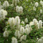 Fothergilla gardenenii