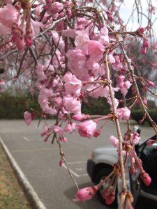 Prunus serrulata 'Kwanzan