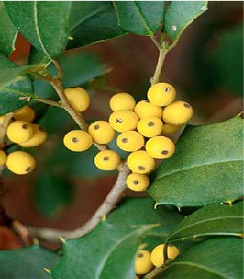 Ilex opaca 'Morgan Gold'