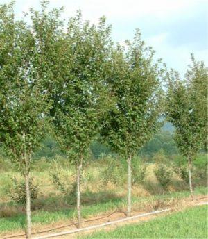 Prunus serrulata 'Kwanzan'
