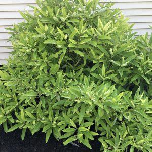 Magnolia virginiana var. australis 'Sweet Thing'