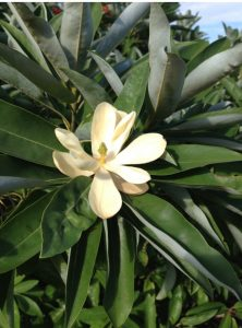 Magnolia virginiana var. australis