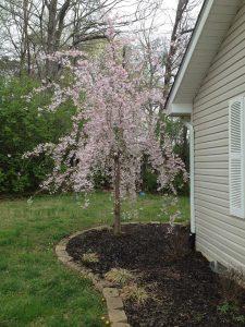 Prunus subhirtella 'Autumnalis'