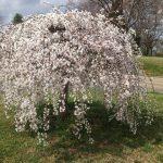 Prunus x yedoensis var. perpendens