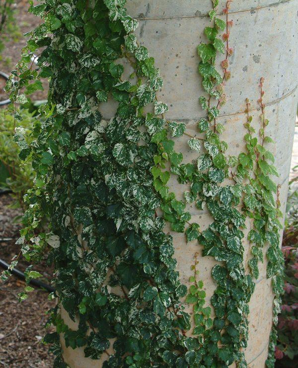 "Parthenocissus tricuspidata ""Ginza Light"" Powdered Sugar ™"