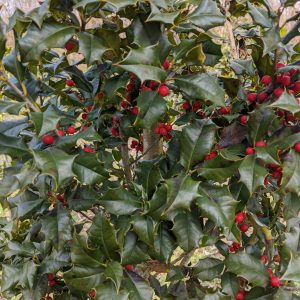 Ilex opaca 'Miss Courtney'