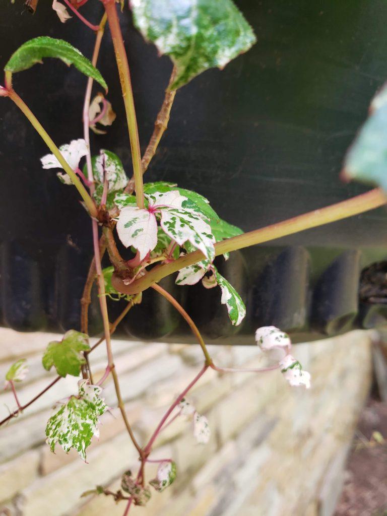 Parthenocissus tricuspidata 'Calcazam'
