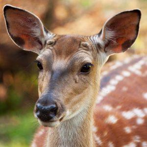Deer Mast