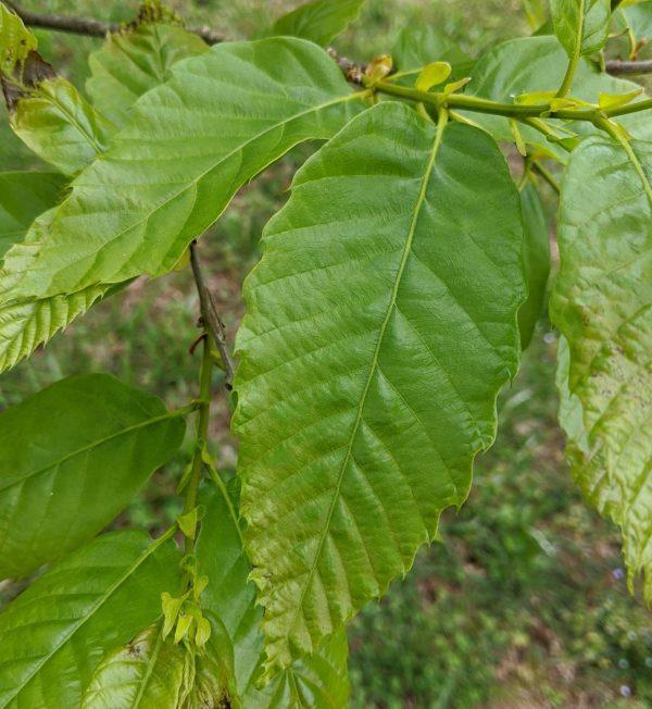Castanea dentata x mollissima 'Sweet-Hart'