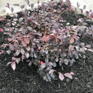 Loropetalum chinense 'Chang Nian Hong'
