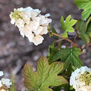 Hydrangea quercifolia 'Ruby Slippers'
