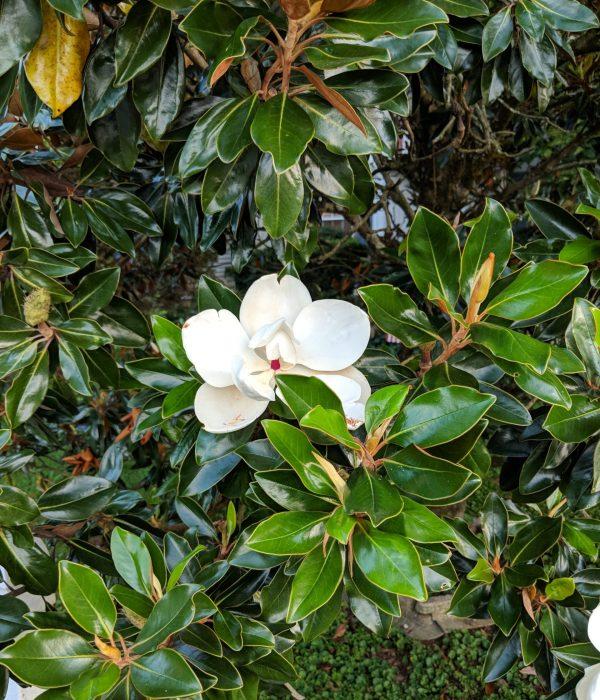 Magnolia grandiflora 'Brackens Brown Beauty'