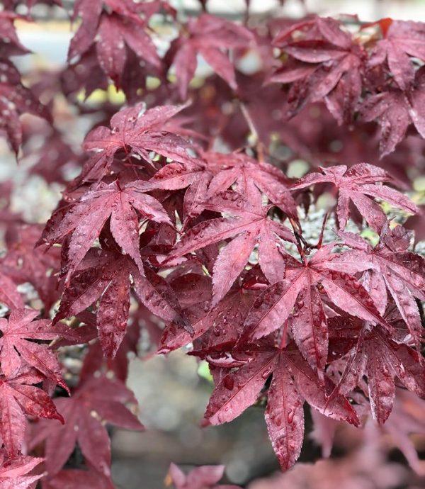 Acer palmatum 'Emperor One'