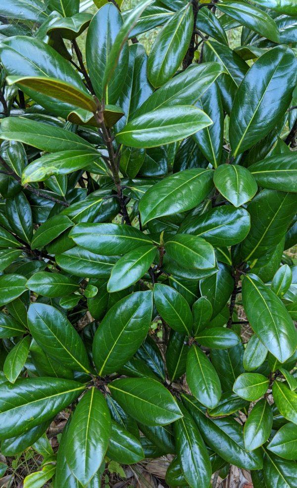 Magnolia grandiflora 'TMGH'